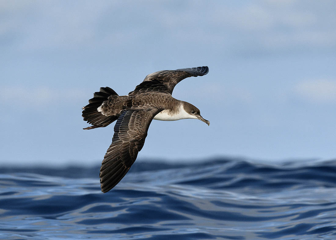 Great Shearwater. ©Paul Sterry/Nature Photographers Ltd