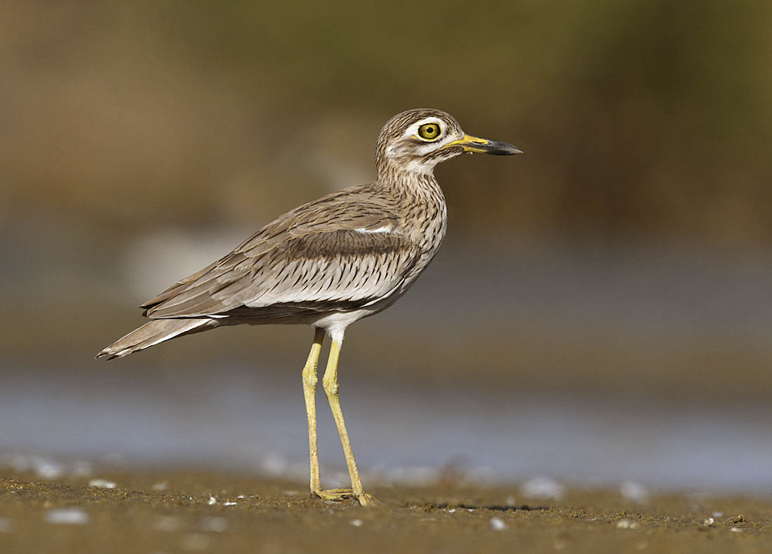Senegal Thick-knee. ©Paul Sterry/Nature Photographers Ltd