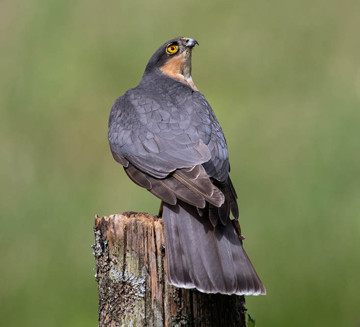 Male Sparrowhawk. ©Andrew Cameron/Bird Photographer of the Year
