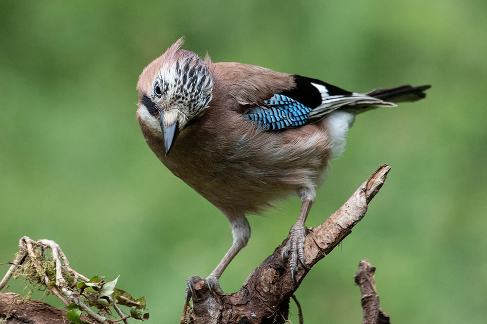 Jay. ©Andrew Cameron/Bird Photographer of the Year