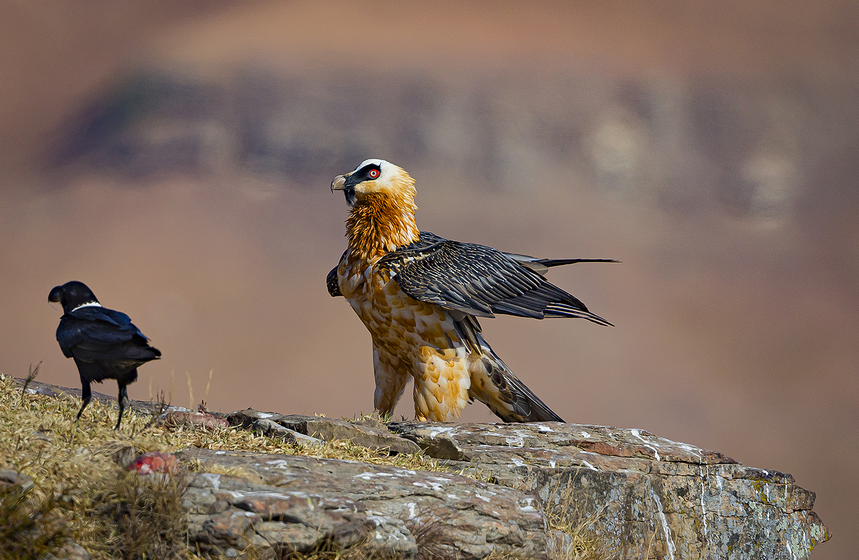 A Bearded Vulture and Raven. ©Rosamund Macfarlane