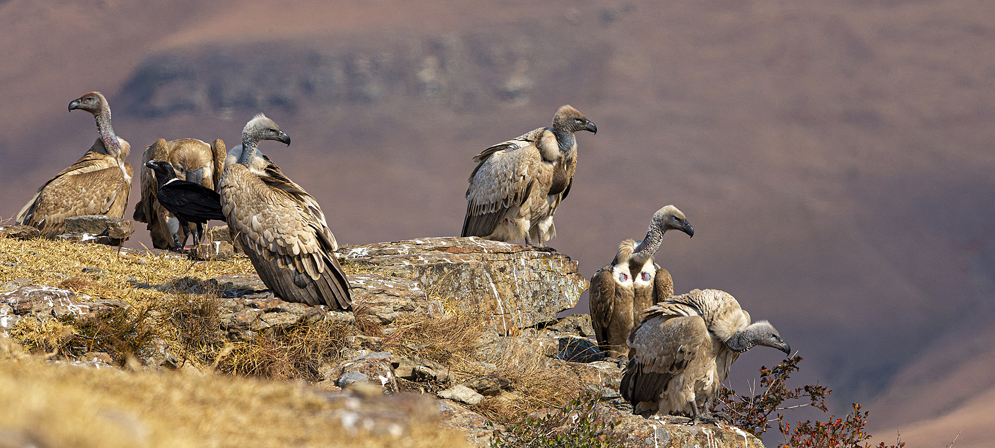 A committee of Cape Vultures. ©Rosamund Macfarlane