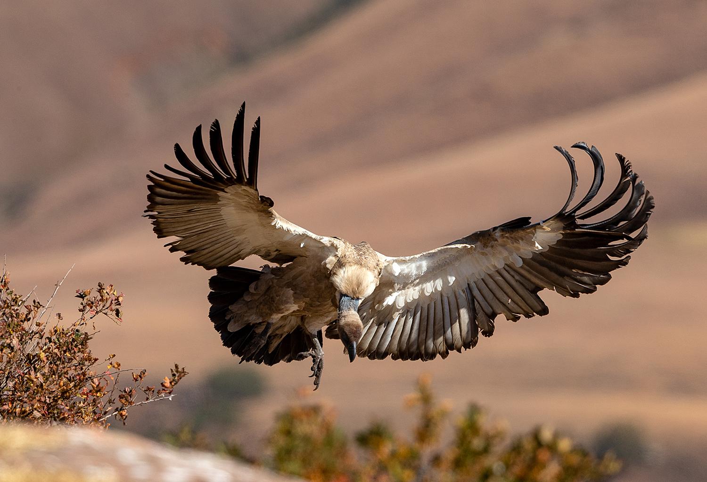 Cape Vulture coming in to land. ©Rosamund Macfarlane