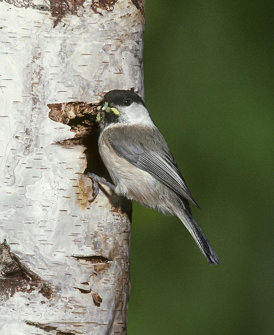 A nesting Willow Tit taken in Scotland. ©Frank Blackburn/Nature Photographers Ltd