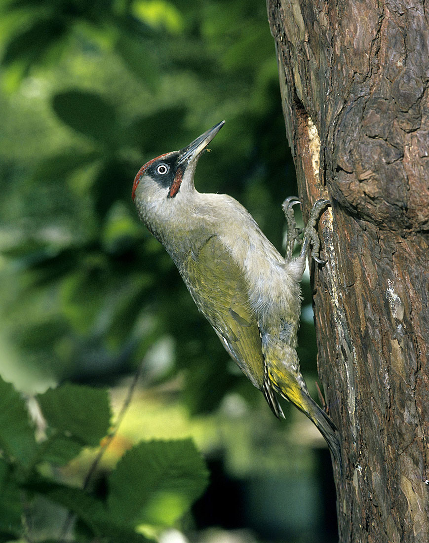 A Green Woodpecker visiting its nesthole in Wales. ©Frank Blackburn/Nature Photographers Ltd