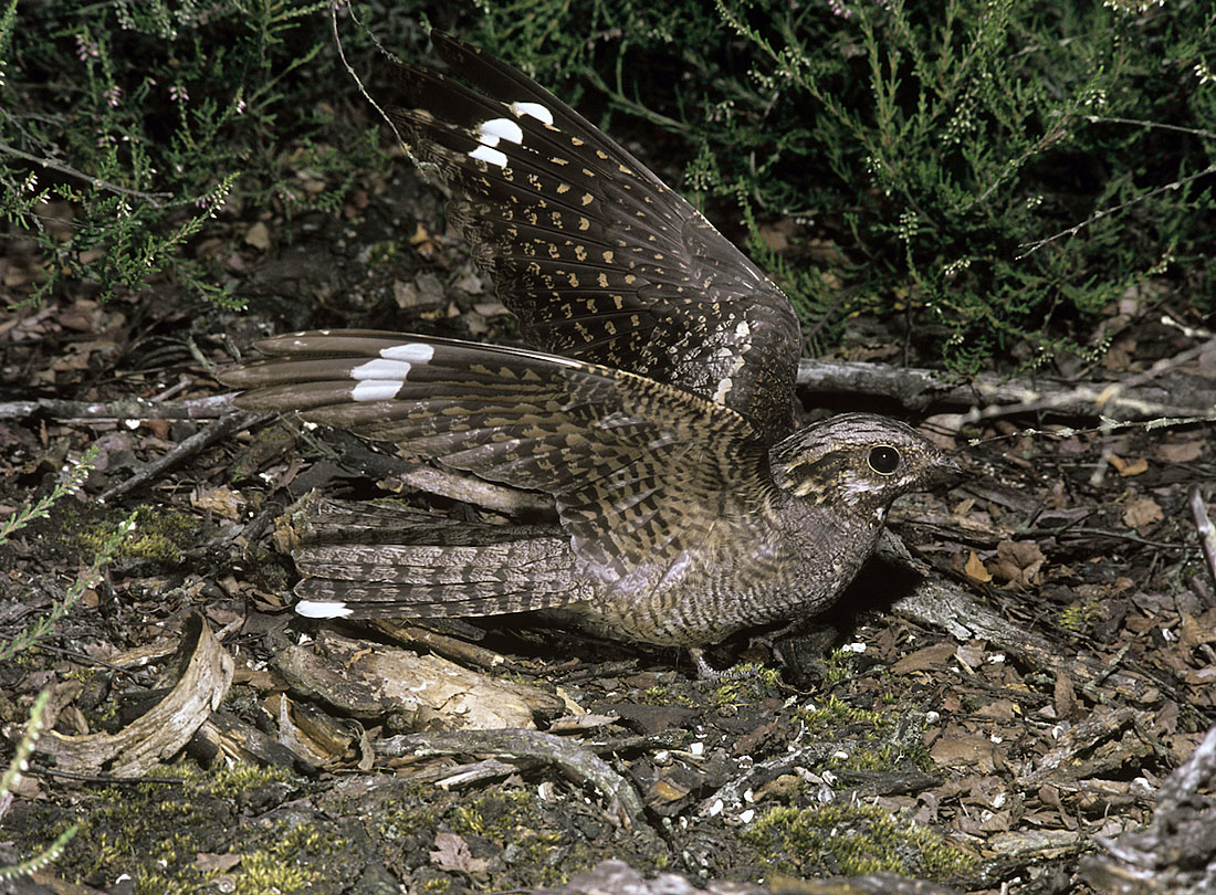 Taken closer to home – almost on his doorstep – this Nightjar was photographed on Surrey heathland that backed onto where he lived; it was an image that Frank was extremely proud of taking. ©Frank Blackburn/Nature Photographers Ltd