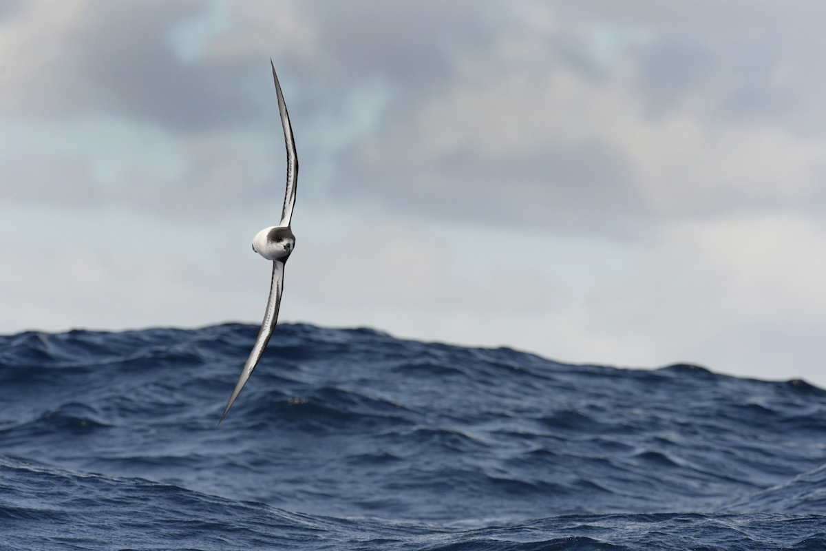 The Cahow is a consummate seabird and a master of flight over the open oceans. ©Paul Sterry/Nature Photographers Ltd