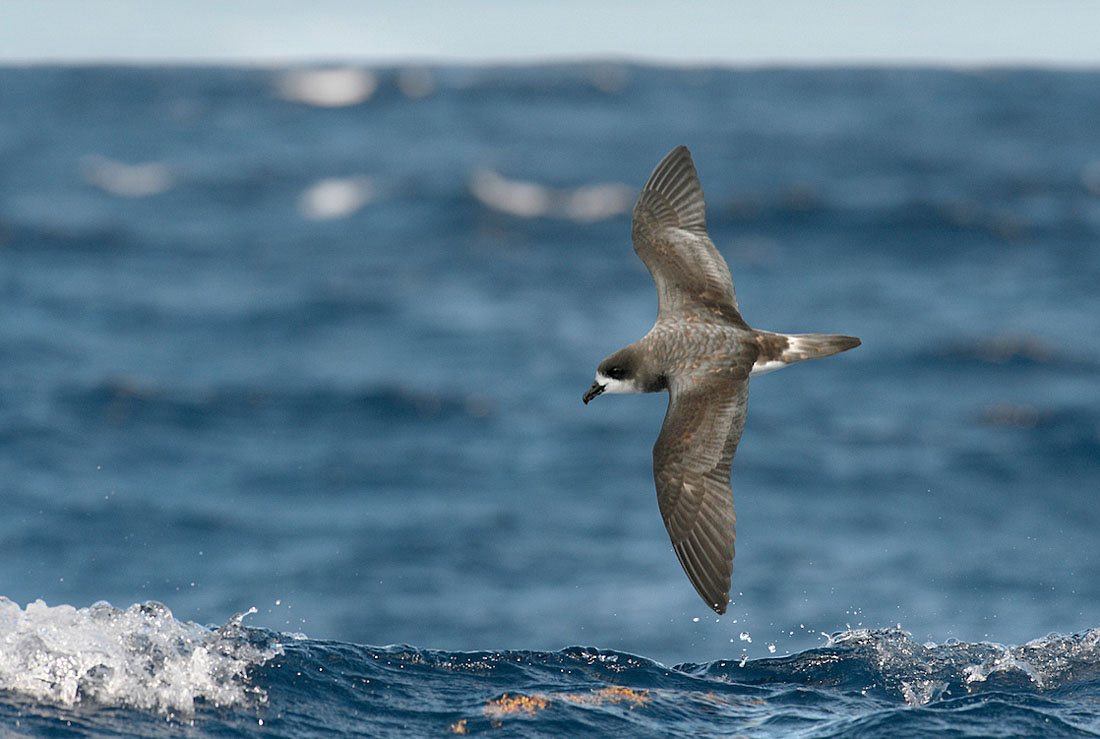 Like other  Pterodroma  petrels the Cahow has a distinctive stiff-winged flight and seldom flaps its wings, controlling its direction and speed by subtle adjustments to its wing shape. ©Paul Sterry/Nature Photographers Ltd