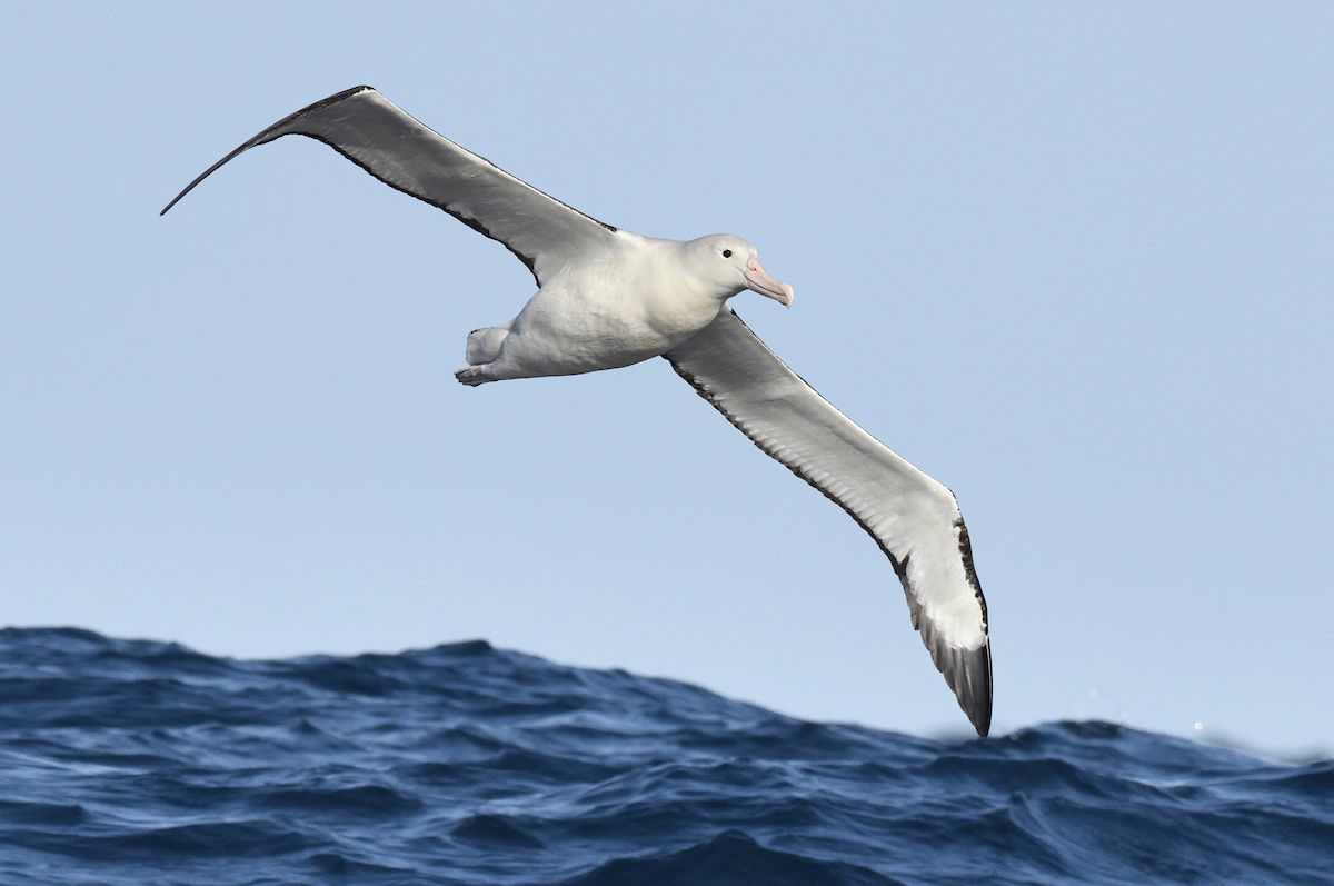 Northern Royal Albatross, a stunning seabird with a 3-3.5 metre wingspan. ©Paul Sterry/Nature Photographers Ltd