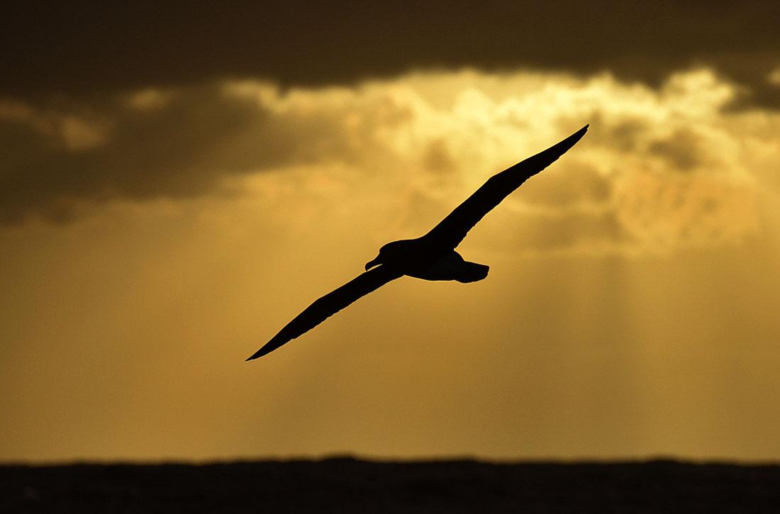 Chatham Island Albatross at sunset. ©Paul Sterry/Nature Photographers Ltd