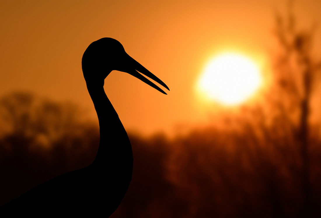 Sarus Crane at sunset. ©Andrew Cleave/Nature Photographers Ltd
