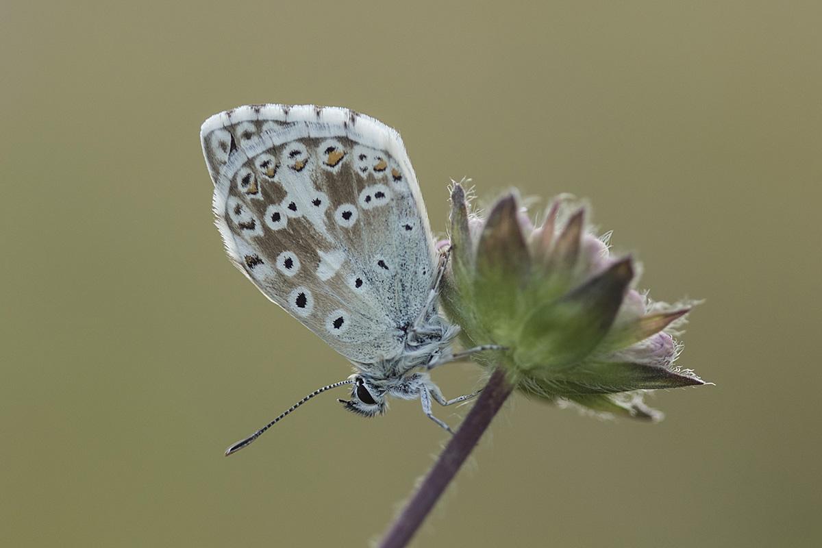Chalkhill Blue ©Victoria Hillman