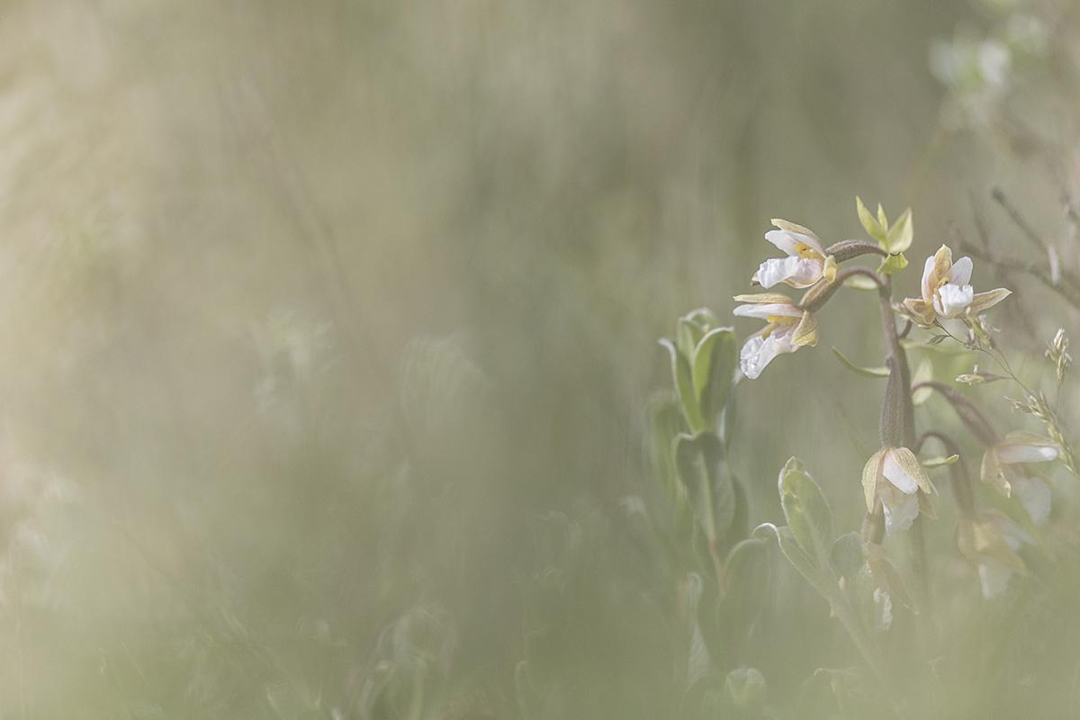 Orchids, North Wales ©Victoria Hillman