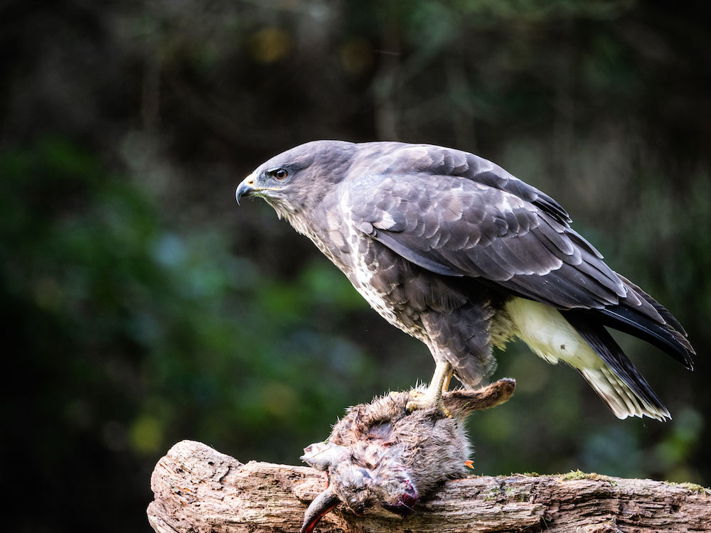 Common Buzzard ©Andrew Cameron