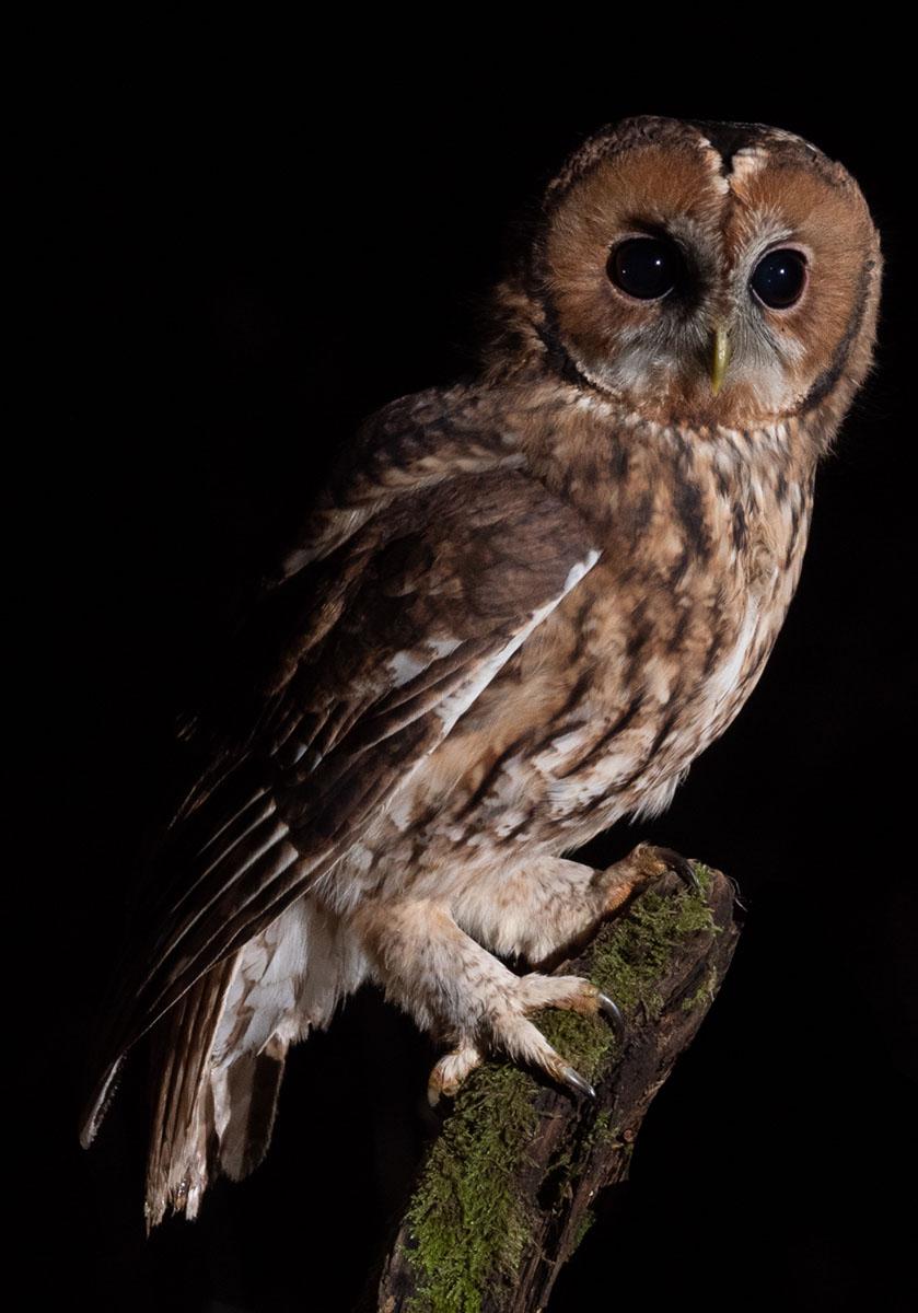 Tawny Owl ©Andrew Cameron