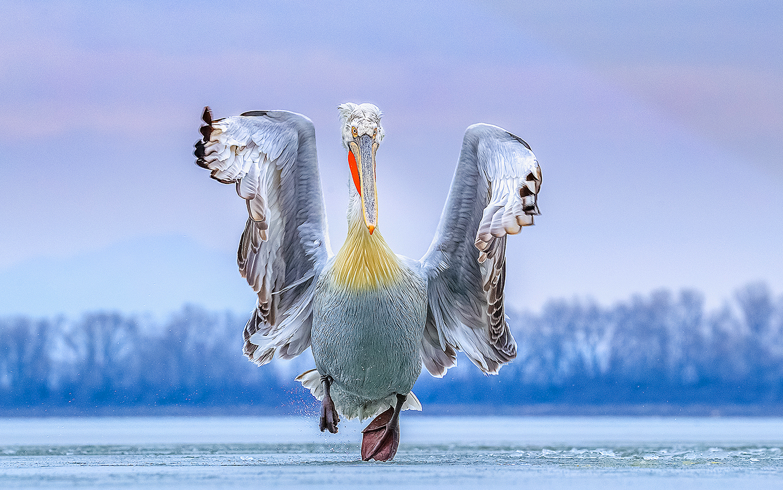 'Dancing on Ice' 2019 Bird Photographer of the Year winner Caron Steele. Dalmatian Pelican, Lake Kerkini, Greece.