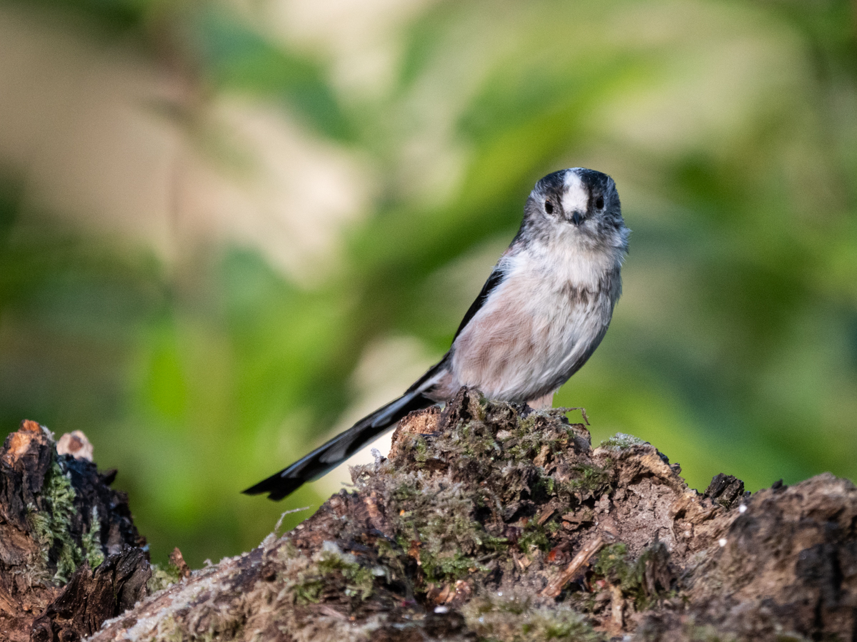 Long-tailed Tit ©Andrew Cameron