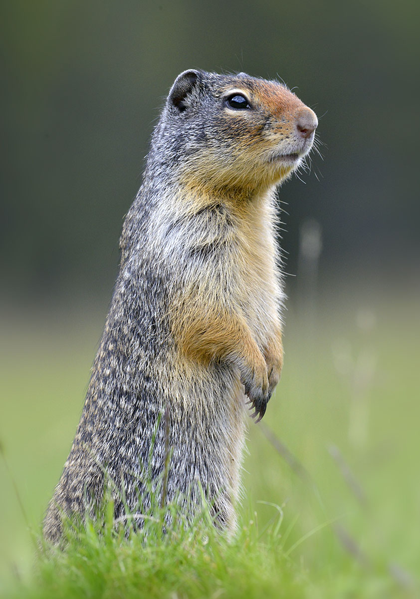 Columbian Ground Squirrel, one of four species present.