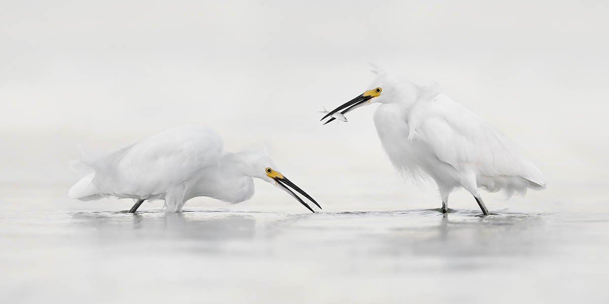 Steven Blandin was commended by the judges in the Bird Behaviour category for this image of Snowy Egrets taken in Florida.