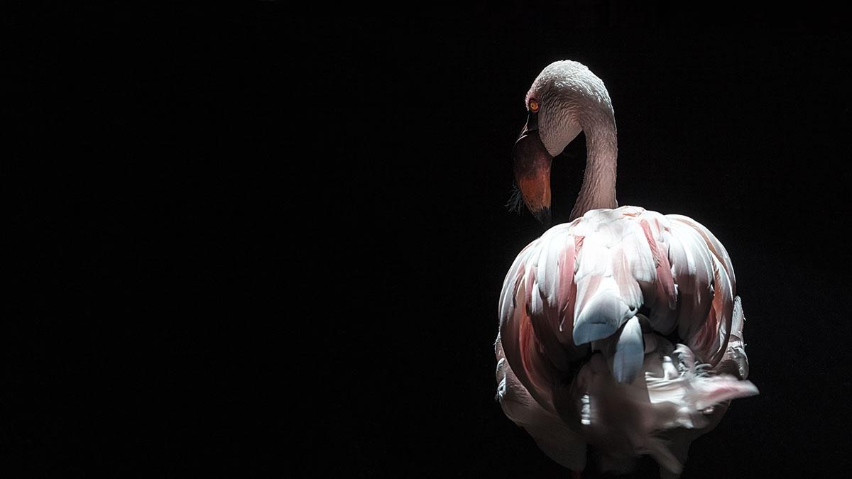 Flamingo ©Simon Beedie