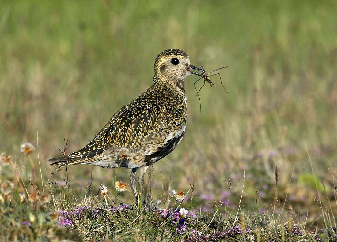 The problems facing nesting Golden Plovers range from the obvious – tree planting which destroys breeding habitat - to more insidious factors such as drainage. Drain the peat and you kill cranefly larvae through desiccation, and far fewer emerge as adults the following year. Adult craneflies are a vital source of food for Golden Plovers and other moorland species during the breeding season and this impacts breeding success. The situation is only made worse by global warming which results in hotter, drier summers. ©Paul Sterry