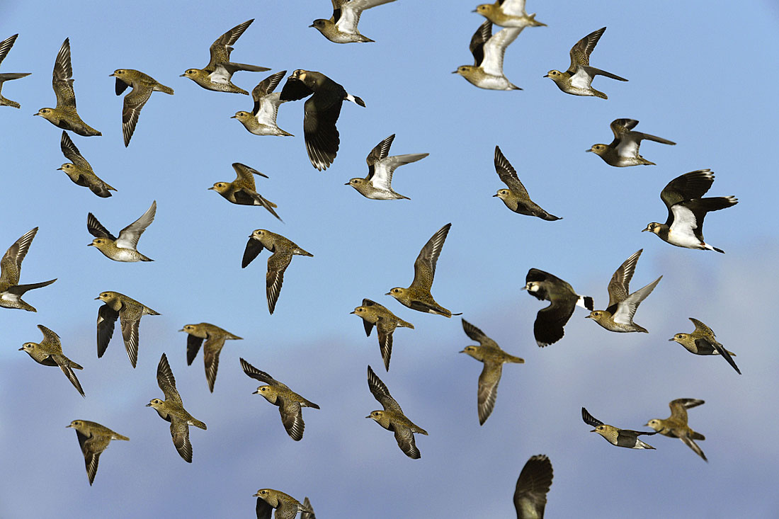 Outside the breeding season Golden Plovers favour wet grassland with short vegetation and farmland. At this time of year the species forms flocks. These tend not to mix freely with other species although the occasional Lapwing may join them if birds are spooked by a Peregrine. ©Paul Sterry