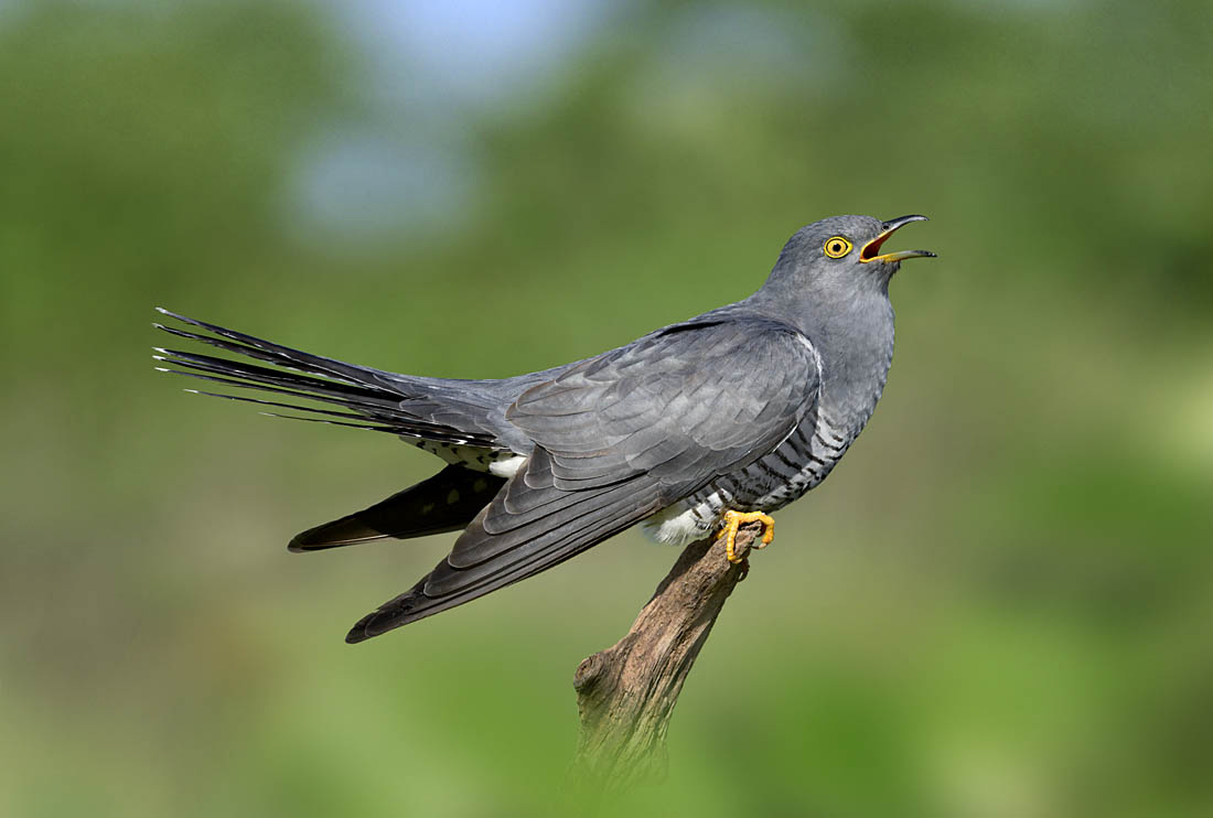 Having spent the winter months in Africa, Cuckoos arrive back in the UK from mid-April to early May. The first job of a male is to advertise its presence with the iconic and onomatopoeic song; once widespread and familiar nowadays this is an increasingly rare sound in southern Britain away from a few Cuckoo hotspots. Photo ©Paul Sterry.