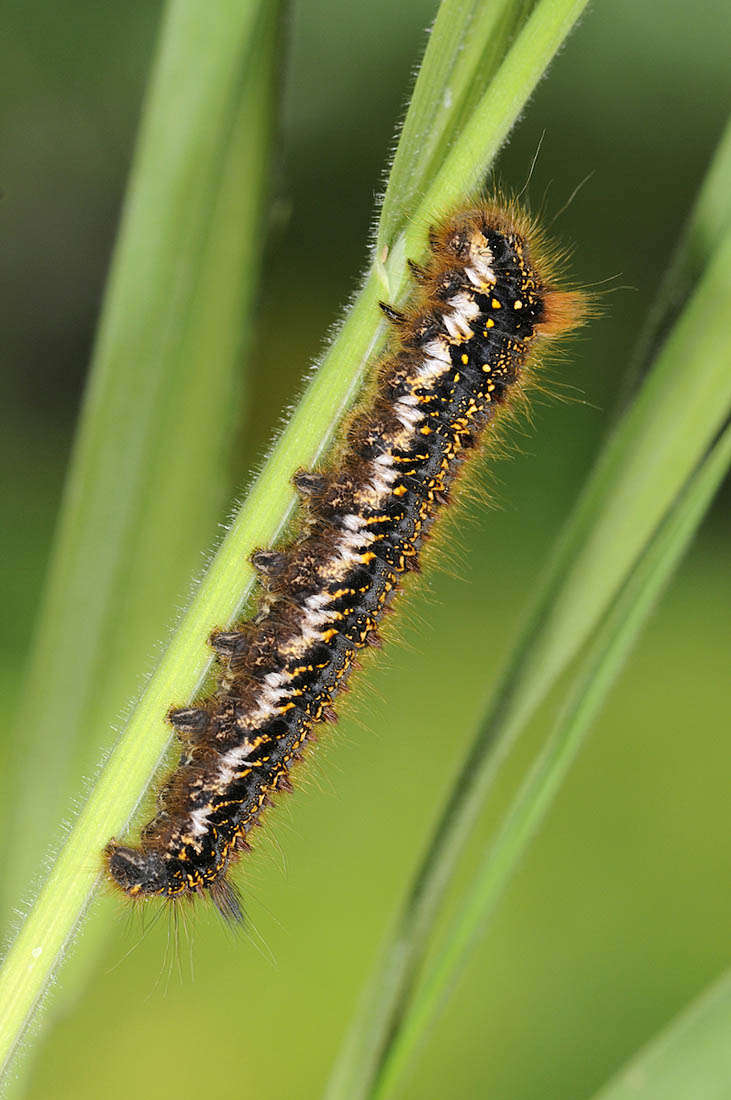 Hairy caterpillars feature heavily in an adult Cuckoo's diet and they are not put off by the irritant bristles that deter other bird species. However, moths such as the Drinker  Euthrix potatoria , whose larvae by rights should be an important food source in southern England, appear anecdotally to have declined significantly in recent years. The caterpillars feed on coarse grasses in damp, agriculturally 'unimproved' meadows. It is hard to imagine that habitat degradation (through land drainage, herbicide application and rank grass seeding for example) has not played its part in the moth's downfall. In southern England at least, away from nature reserves and heathlands, you have to wonder what on earth can Cuckoos find to eat these days? Photo ©Paul Sterry.