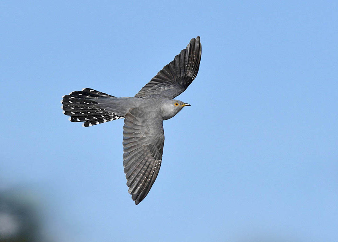 An evaluation of BTO research to date strongly indicates that climate change may be an important factor in the Cuckoo's decline. Specifically the information reveals the need to understand how successful Cuckoo migration is linked to and dependent upon the drought-ending rains of the weather frontal system known as the Inter Tropical Convergence Zone. Satellite tagging. ©Paul Sterry.