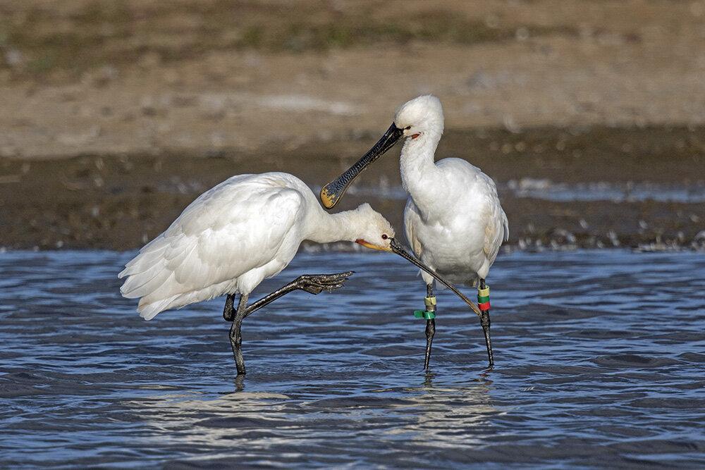 Spoonbills ©David Hosking