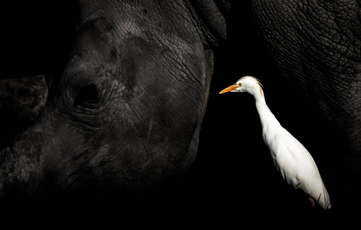 William Steel won our Best Portrait Bronze Award in 2019 with this poignant image of a Cattle Egret. ©William Steel
