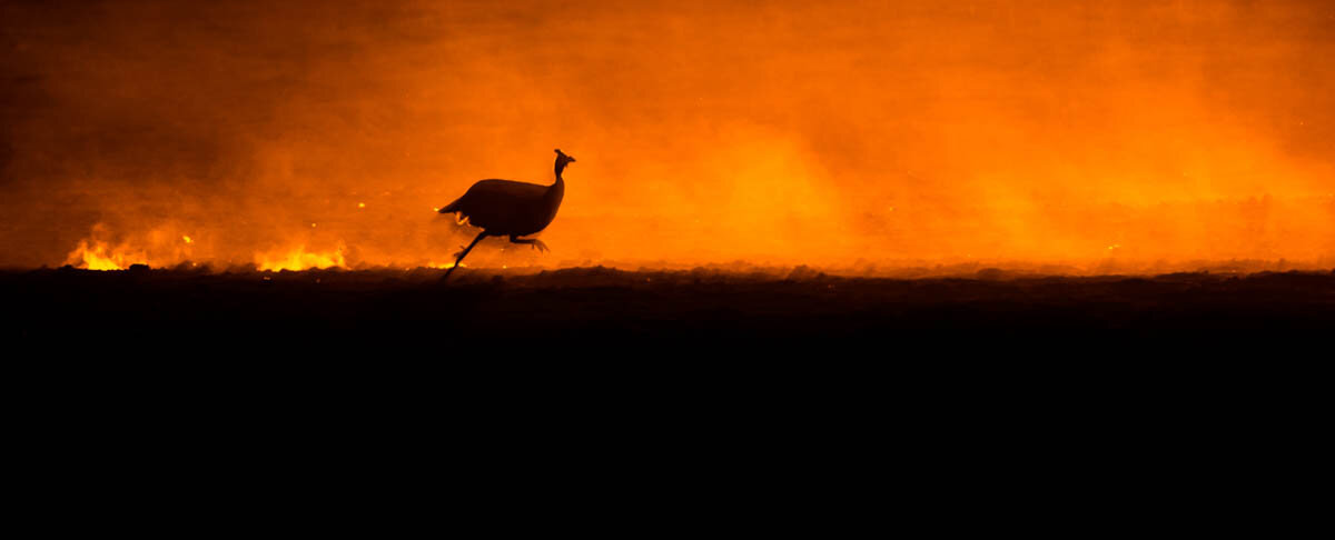William Steel found further success in 2019 winning a Commendation from the judges for this image of a Helmeted Guineafowl from the Bird Behaviour category. ©William Steel