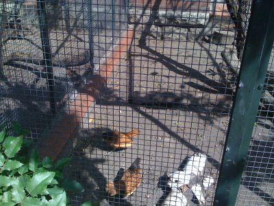 crazy-chickens.jpg