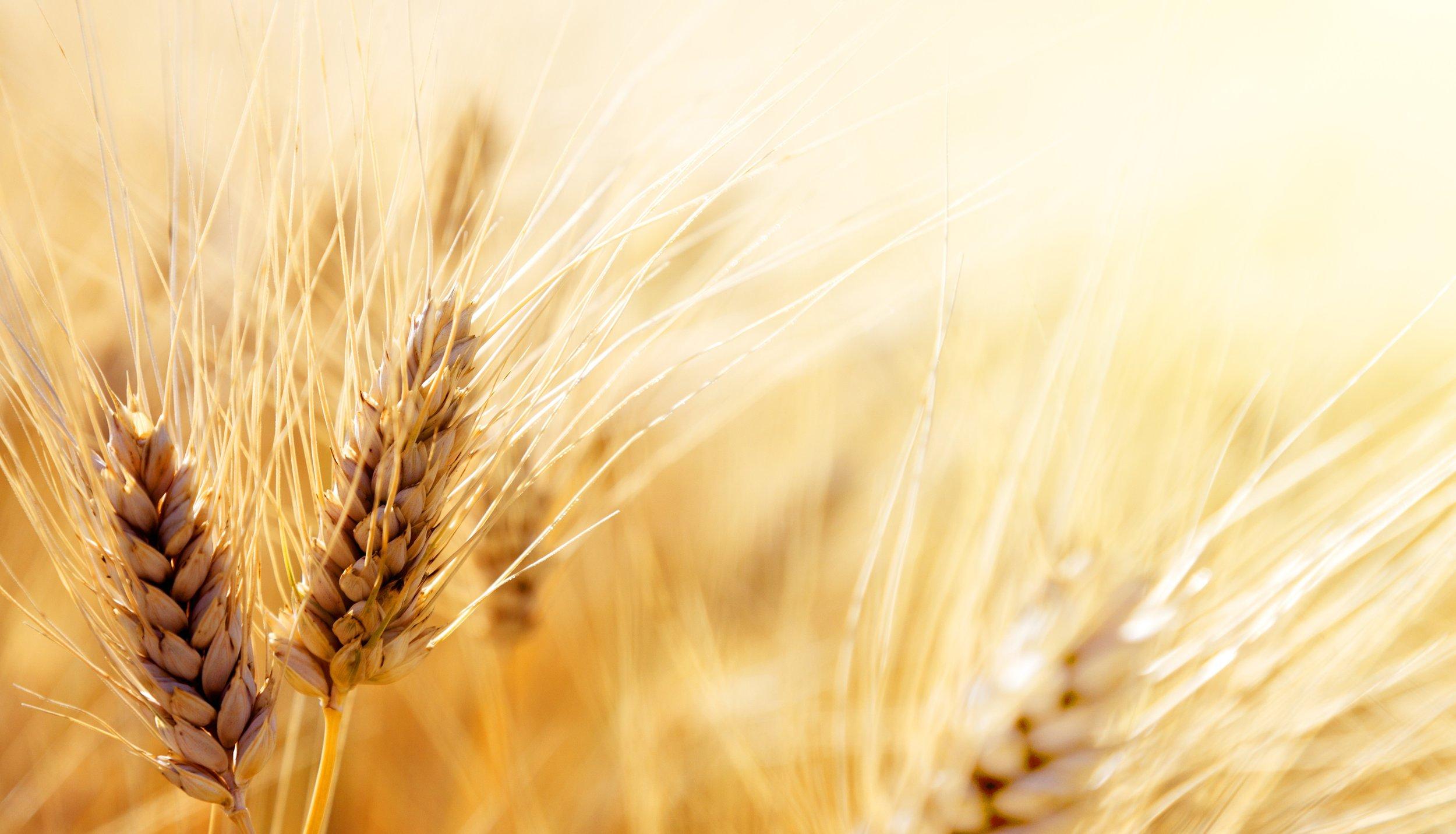 wheat-food-grain-grass-family-cereal-grain-rye-1425791-pxhere.com.jpg