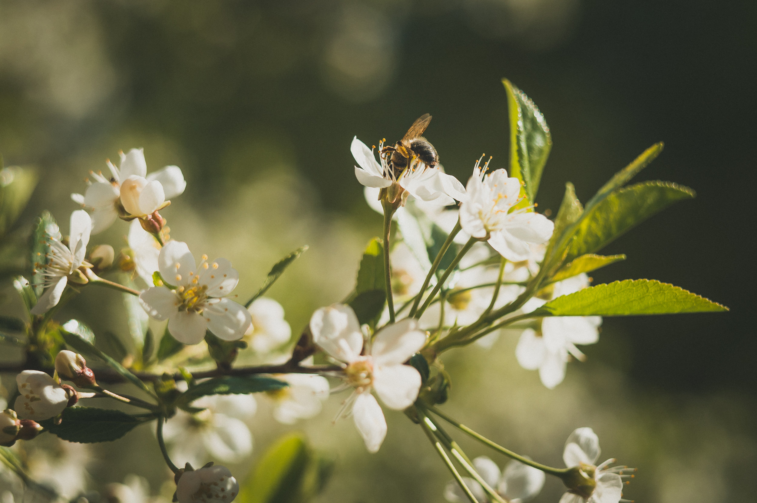 bee-bloom-blooming-blossom-branch-buds-1423635-pxhere.com.jpg