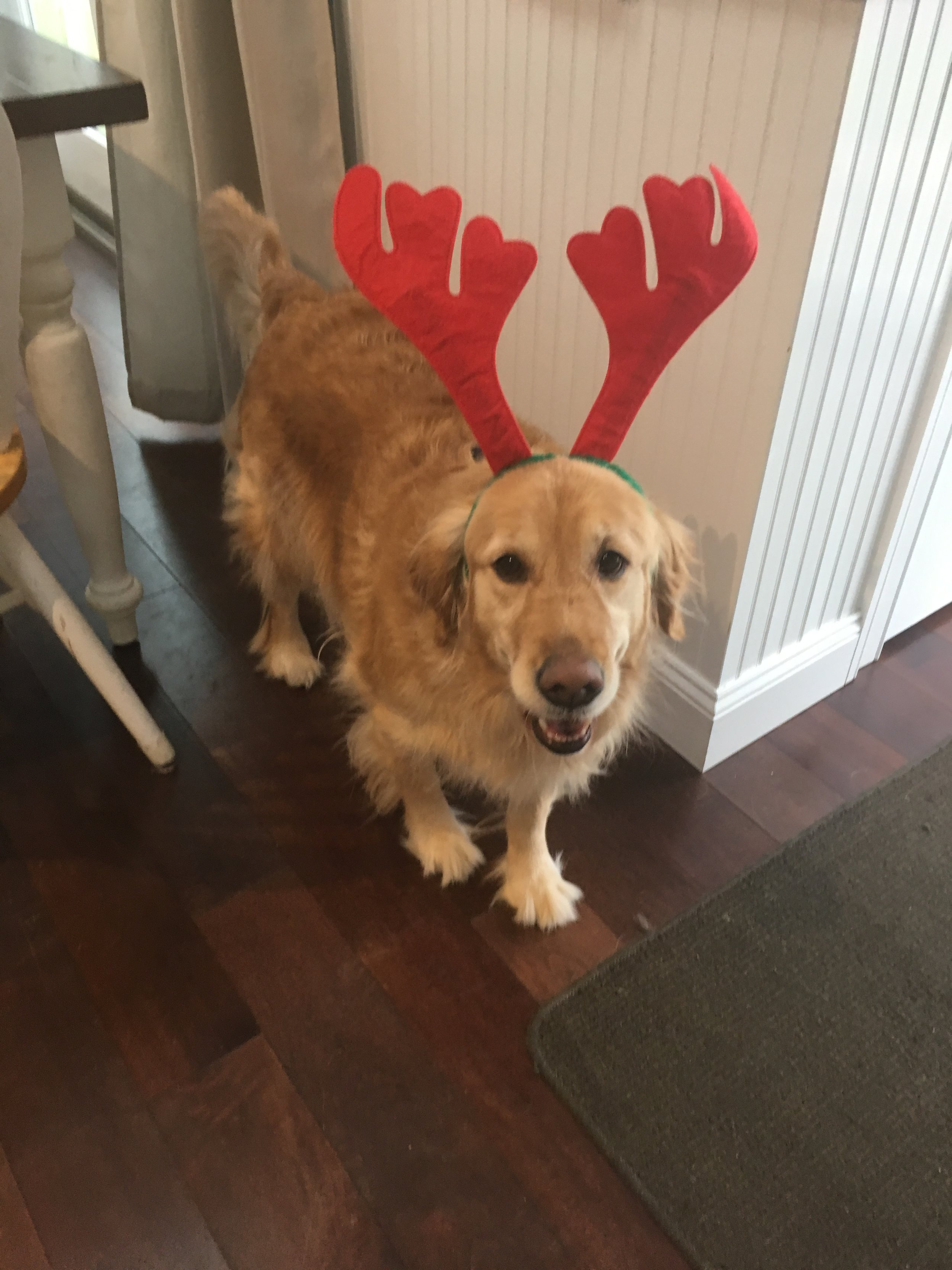 Molly the reindeer