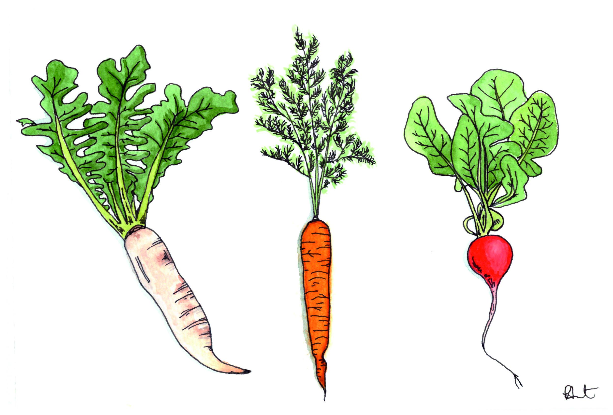 root-vegetables-CMYK.jpg