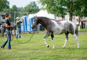 Dante - Dante is a 6-year-old non-gaited Kentucky Mountain Horse collected from Knott County Kentucky in 2016. He was born feral to a free-roaming herd and was highly difficult to capture and handle. Dante was gelded in 2017 and after many hours of training is now leading a normal life. He is currently under saddle and doing quite well! Dante is built more like a quarter horse and is fairly short, standing at just over 15 hands tall. Dante's plans for 2019 include ranch horse events, trail riding, fox-hunting, and traveling to local horse shows and events to help promote our mission and raise awareness of the free-roaming horses in eastern KY.