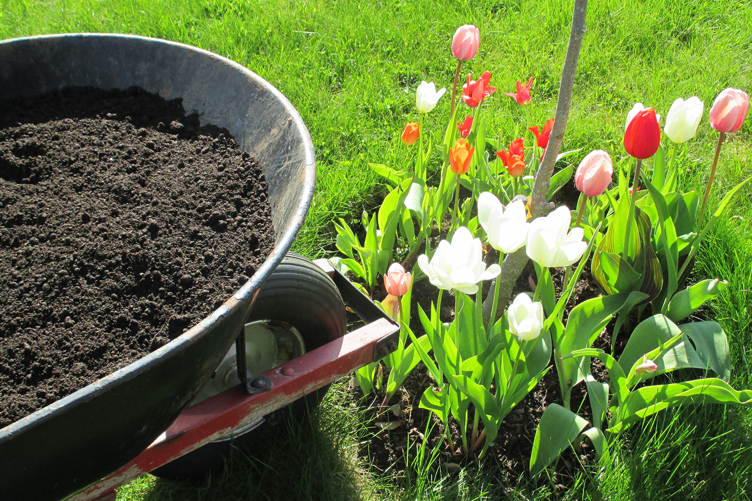 wheelbarrow and a freshly planted garden bed full of various flowers including tulips.