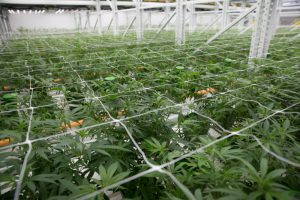 Cannabis-trellises-help-keep-the-plants-from-sprawling-into-the-aisles-300x200.jpg