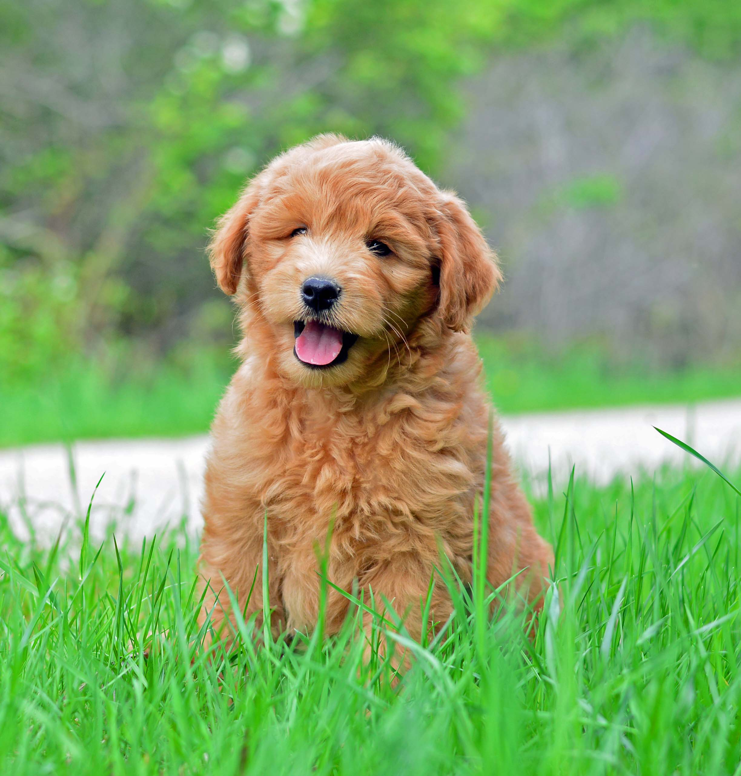 One of the beautiful Goldendoodle puppies bred here at Doodle Creek!
