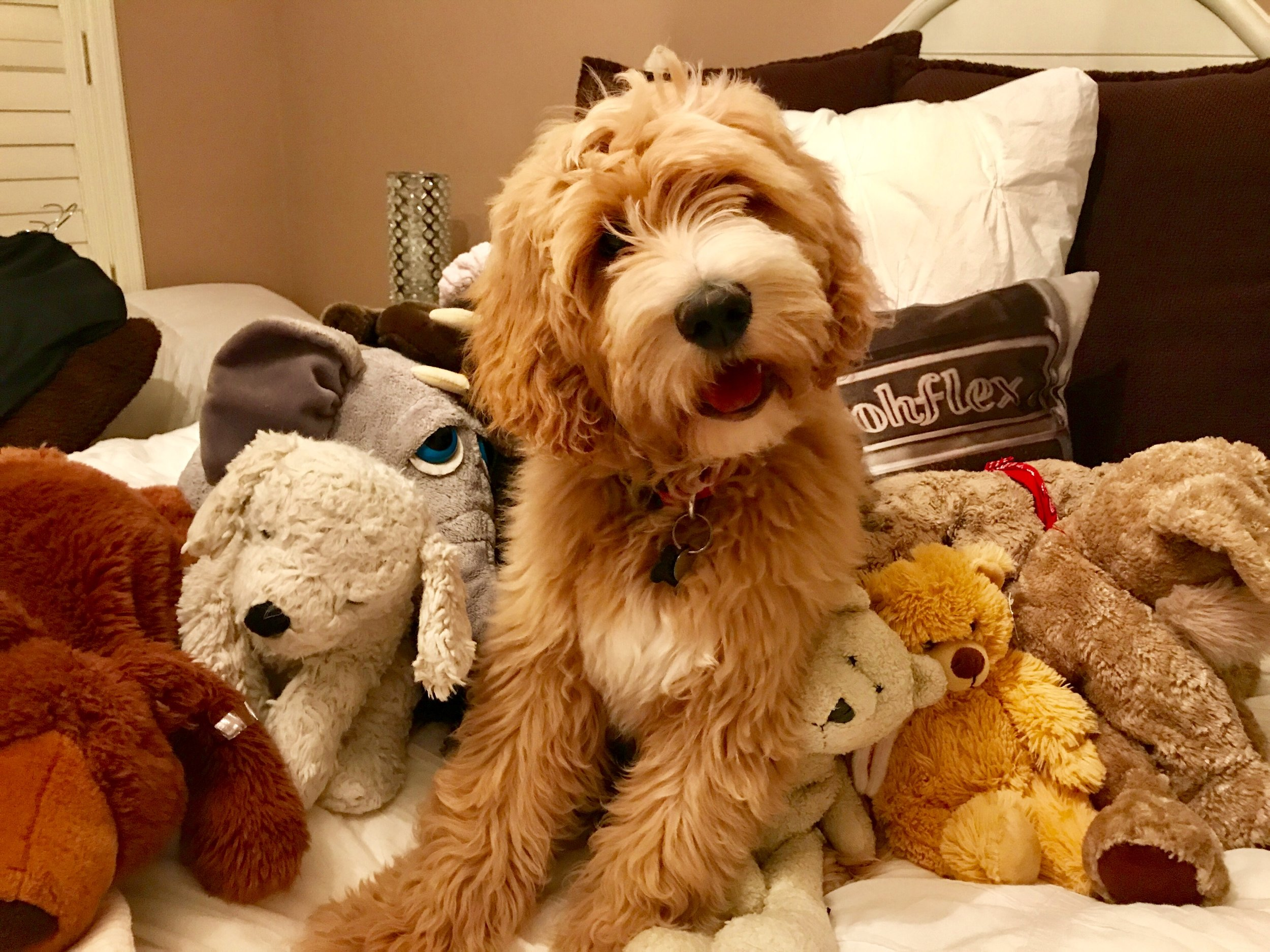 F1 Standard English Goldendoodle puppy