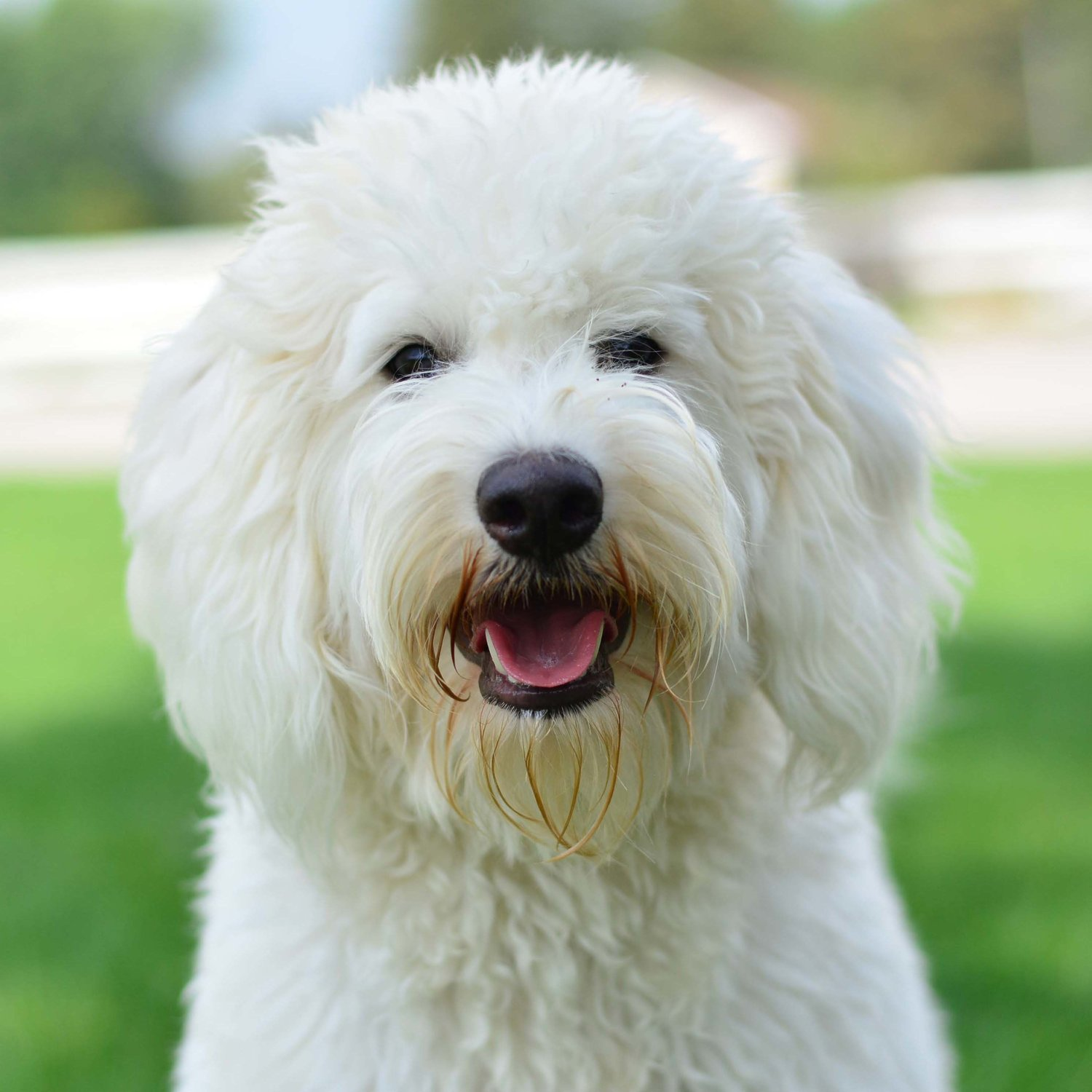 Doodle Creek - English Goldendoodle Puppies For Sale