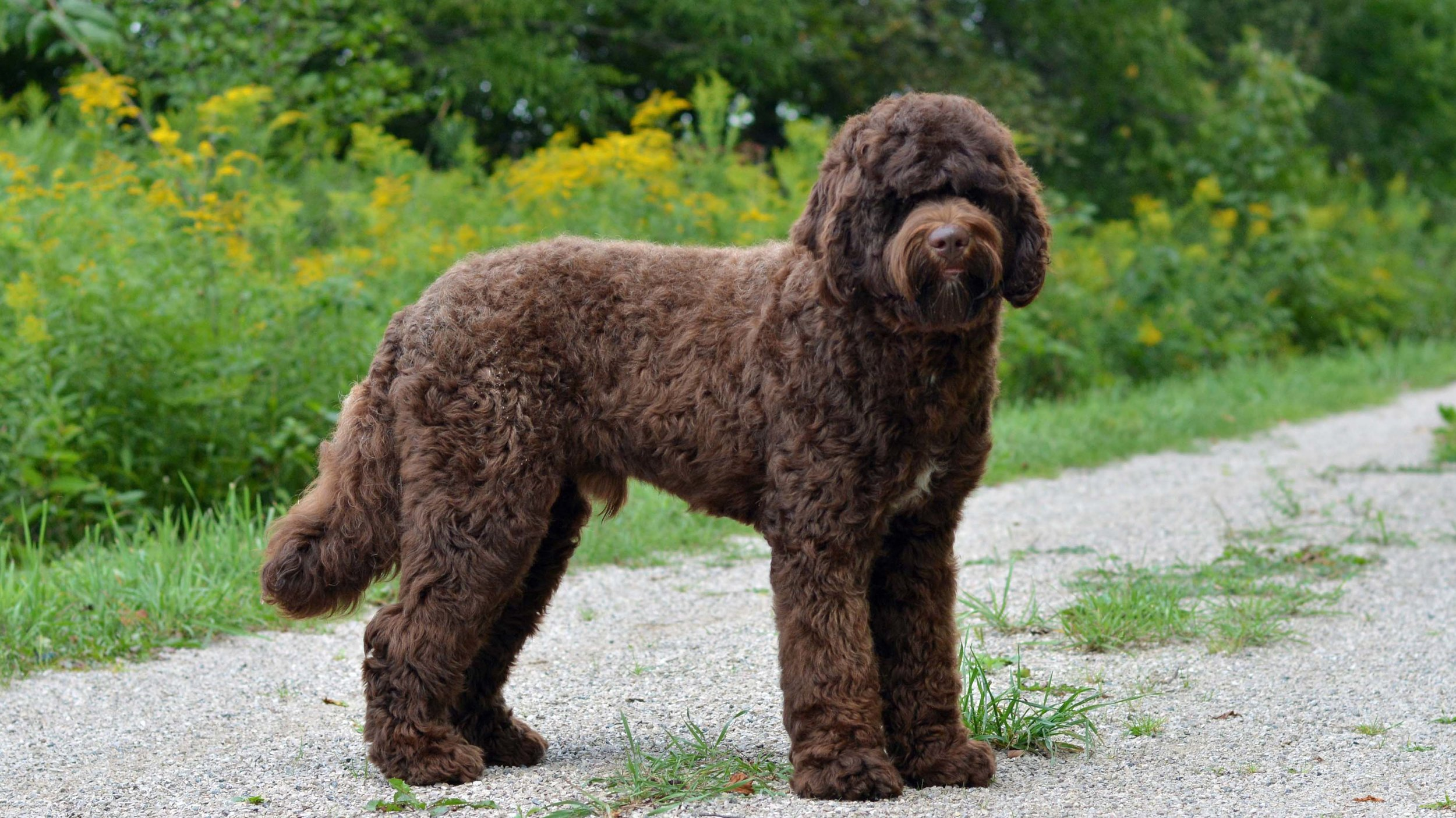 The English Goldendoodle Doodle Creek