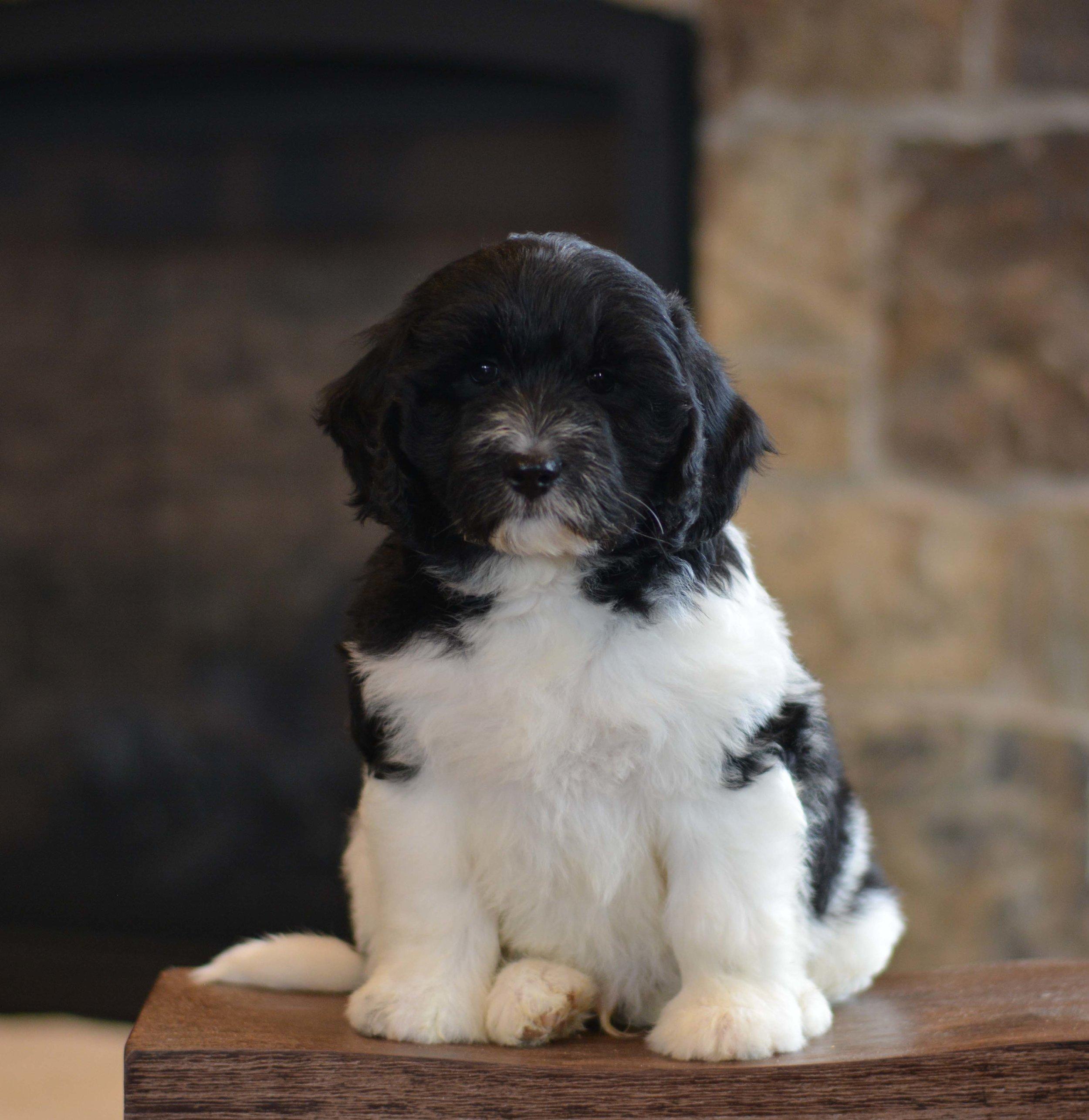 Fleecy/wavy puppy