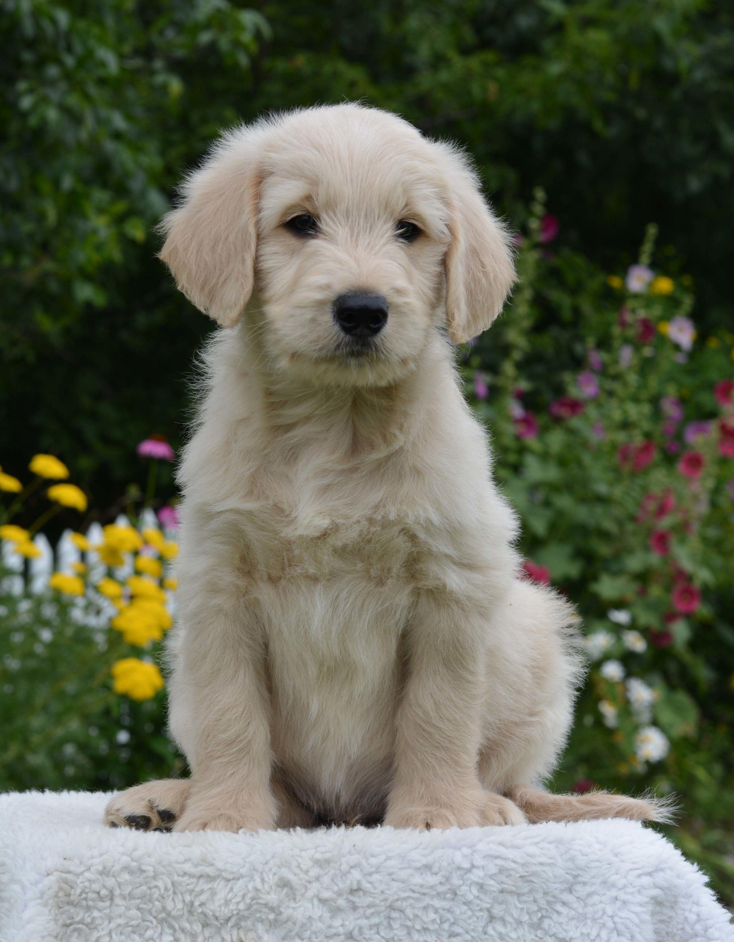 Straight/wavy puppy