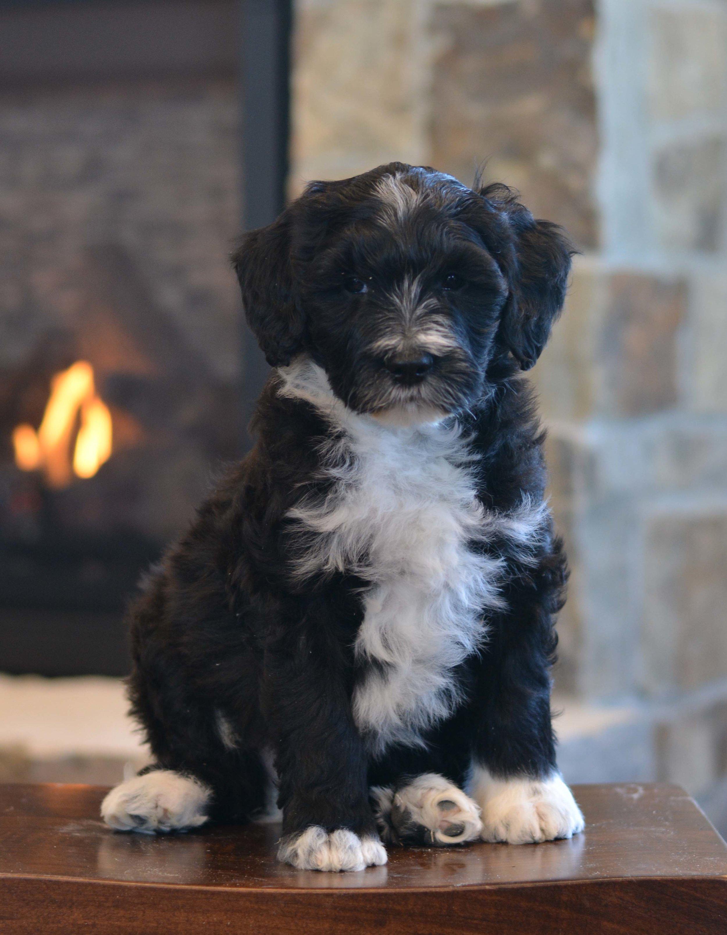 Fleecy/wavy Olde English Goldendoodle Puppy