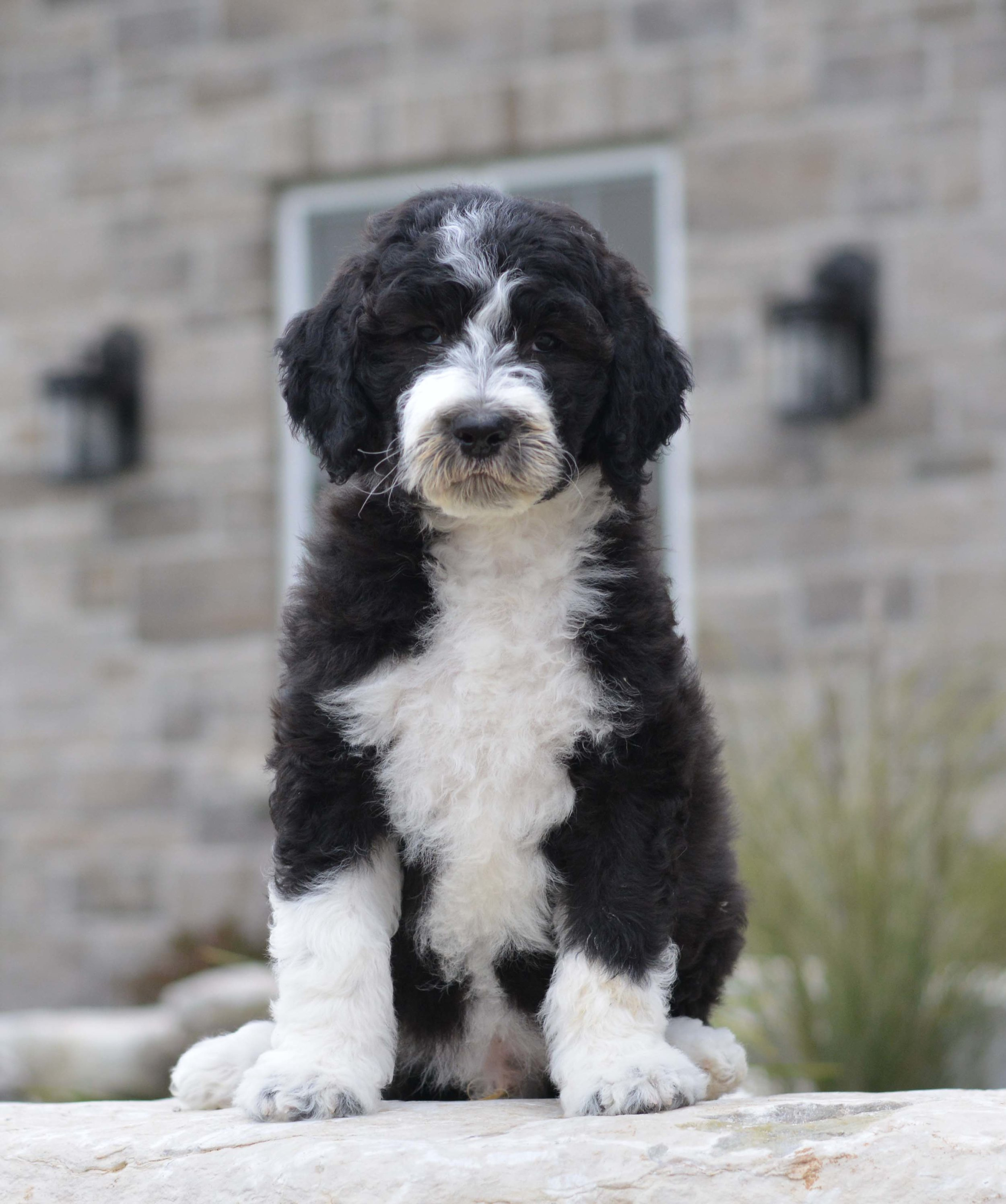 Curly Olde English Goldendoodle Puppy