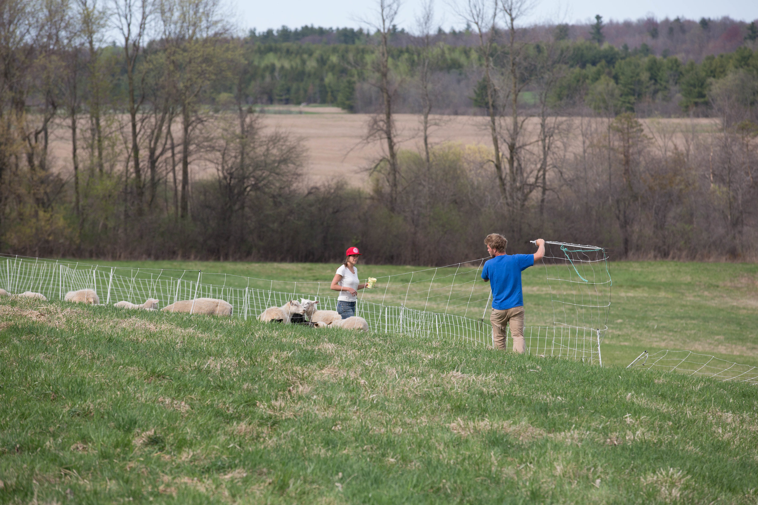 Vera Simon-Nobes and Michael Haulenbeek moving their flock of sheep using electric fencing.