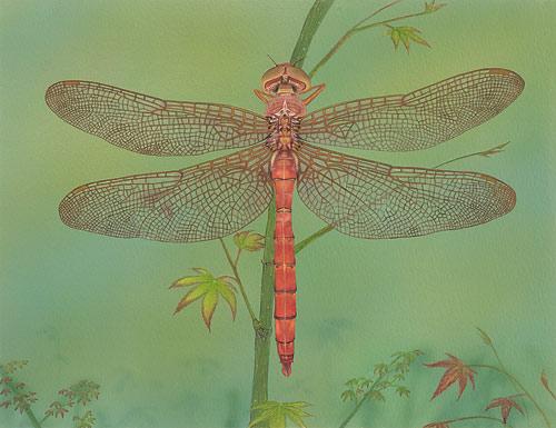 Orange Shadowdragon  Akitsushima (Isle Of The Dragonfly) Collection